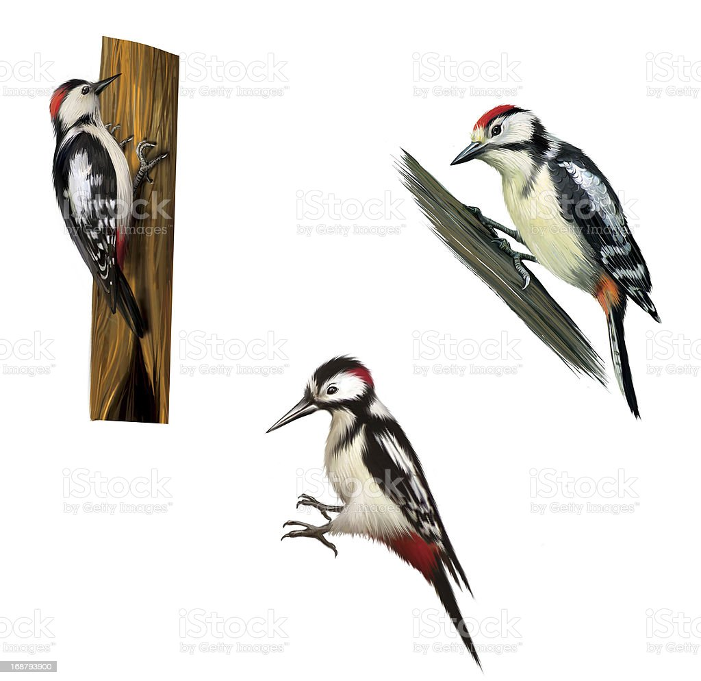 Great Spotted Woodpecker. Isolated on white background. royalty-free stock photo