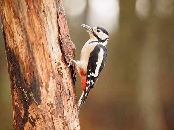 Great Spotted Woodpecker - Male. stock photo