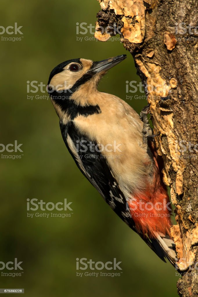 Great Spotted Woodpecker on Tree photo libre de droits