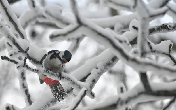 Great Spotted Woodpecker on winter snow tree stock photo