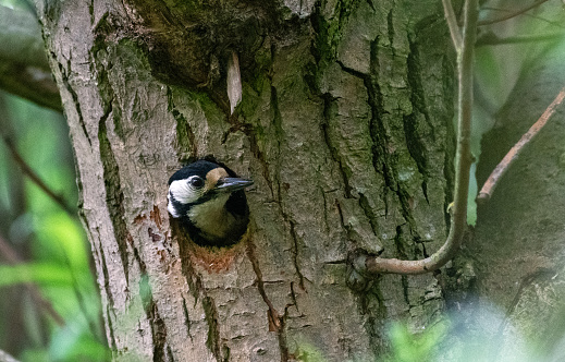 Adult female Great Spotted Woodpecker looking out of her nest and awaiting the return of the male with food for the chicks. Lots of copy space all around.