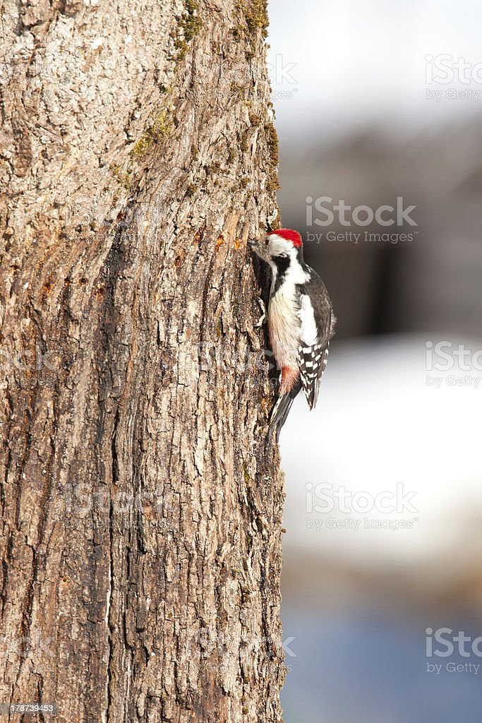 Great Spotted Woodpecker. royalty-free stock photo