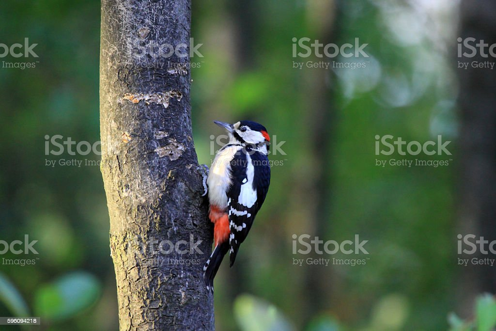 Great spotted woodpecker (Dendrocopos major) royalty-free stock photo