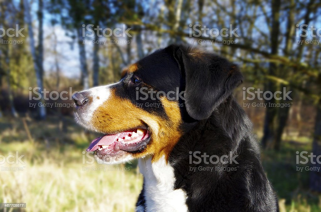 Great Swiss Mountain Dog stock photo