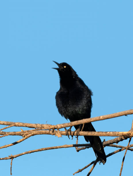 Great Tailed Grackle stock photo