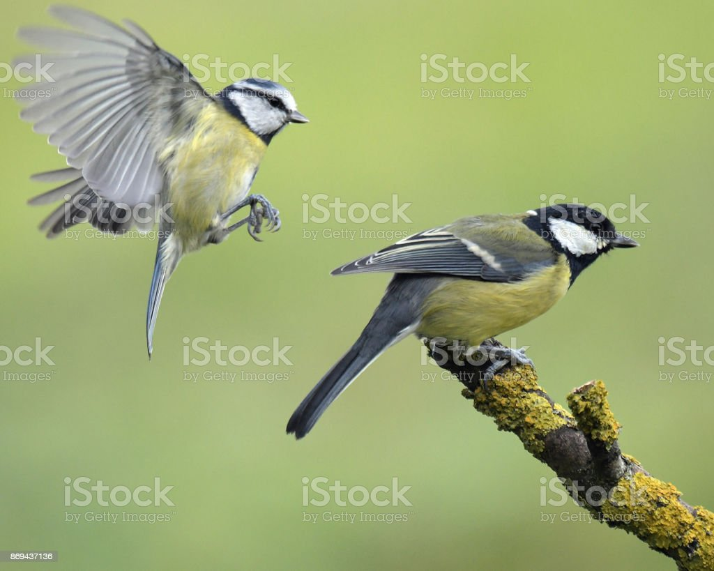 Great Tit and Blue Tit stock photo