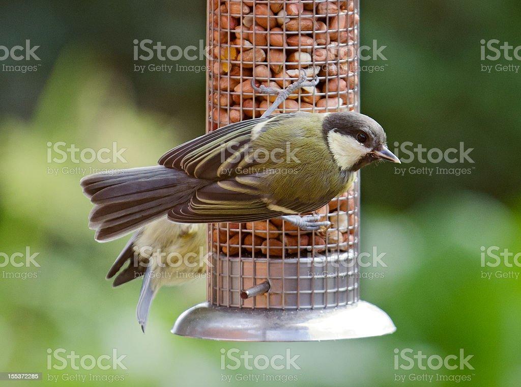 Great Tit at peanut feeder royalty-free stock photo