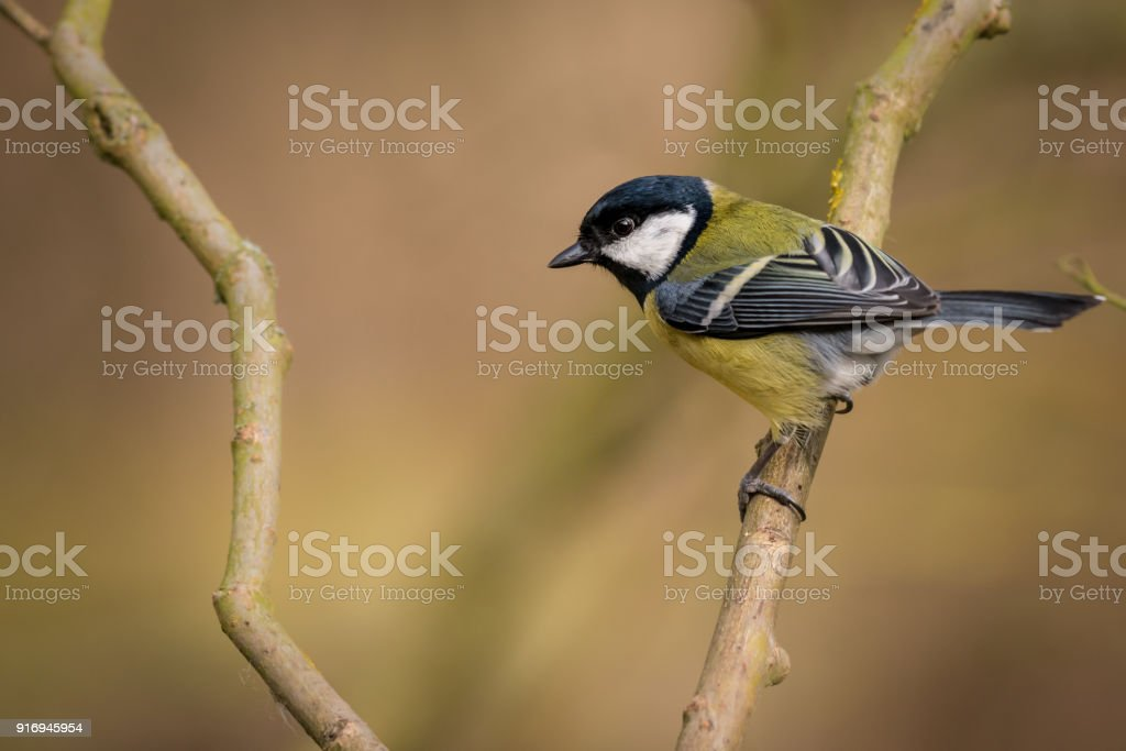 Great Tit Bird Wild Perched stock photo