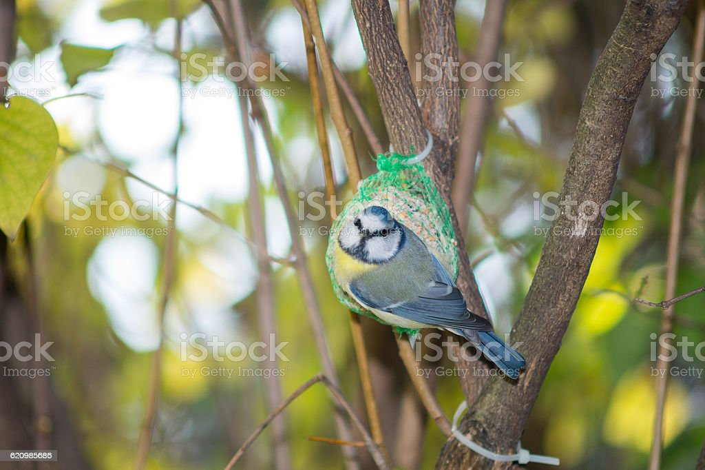 great tit, blue tit eats fat ball at the manger foto royalty-free