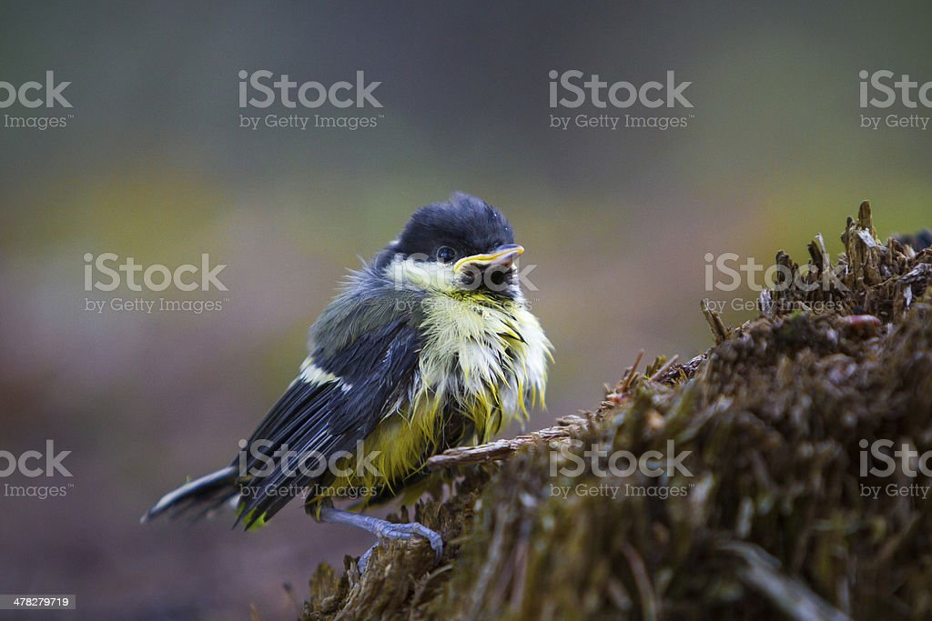 Great Tit Chick (Parus Major) royalty-free stock photo
