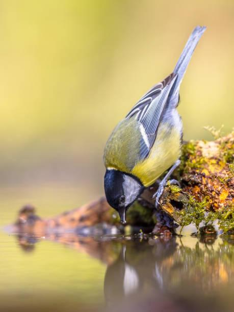 Great tit drinking water picture id658265694?b=1&k=6&m=658265694&s=612x612&w=0&h=joq up8jxzxcsskbdjya8vwmplrafkwsh5baw5illx8=