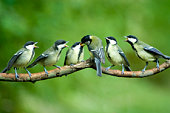istock Great Tit family being fed by mother 98702734