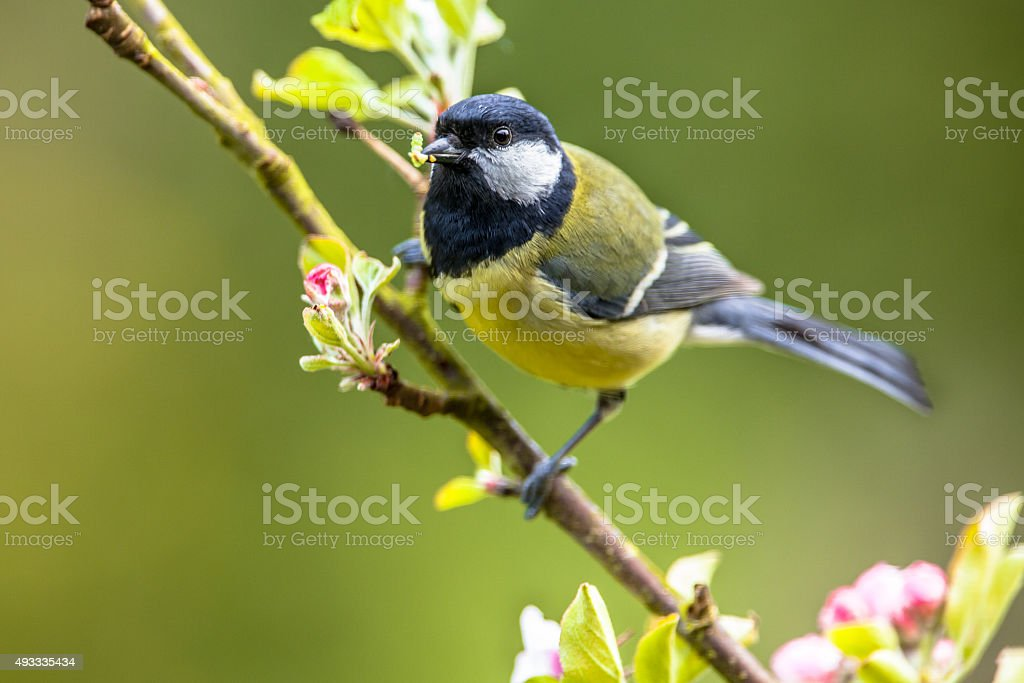 Great tit feeding young stock photo
