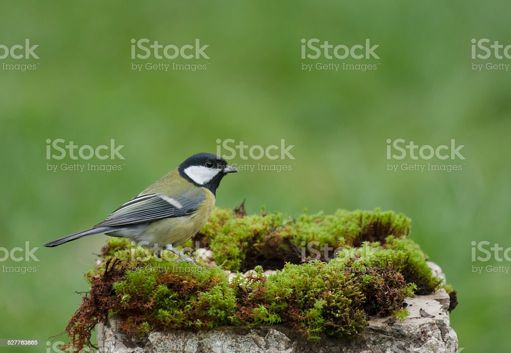 Great tit in a park stock photo