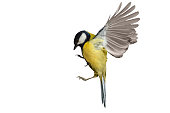 Great tit in flight isolated on white