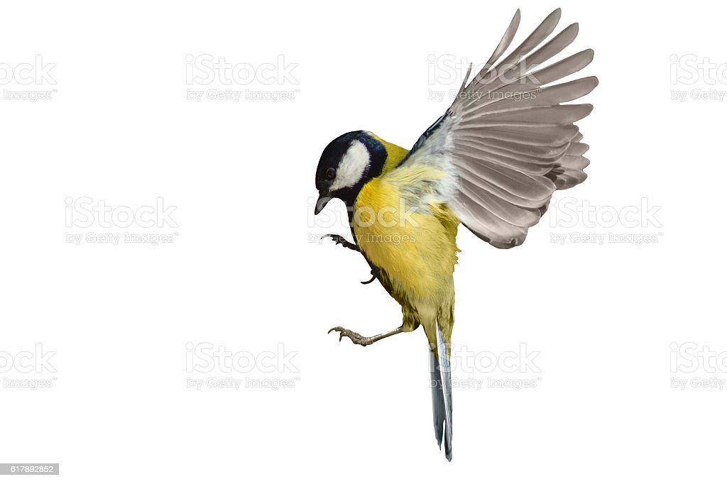 Great tit in flight isolated on white stock photo