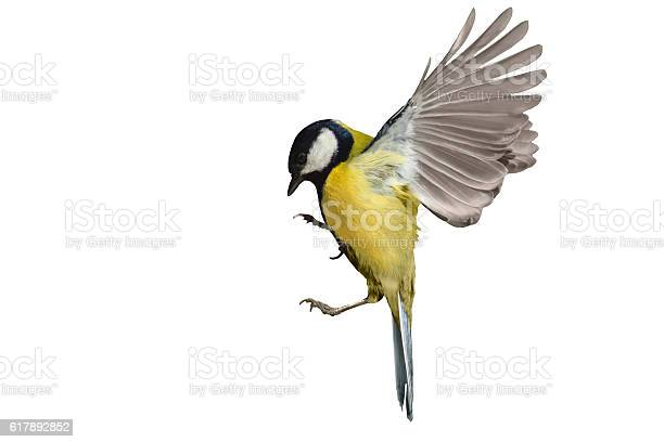 Great tit in flight isolated on white,bird in flight, yellow feathers