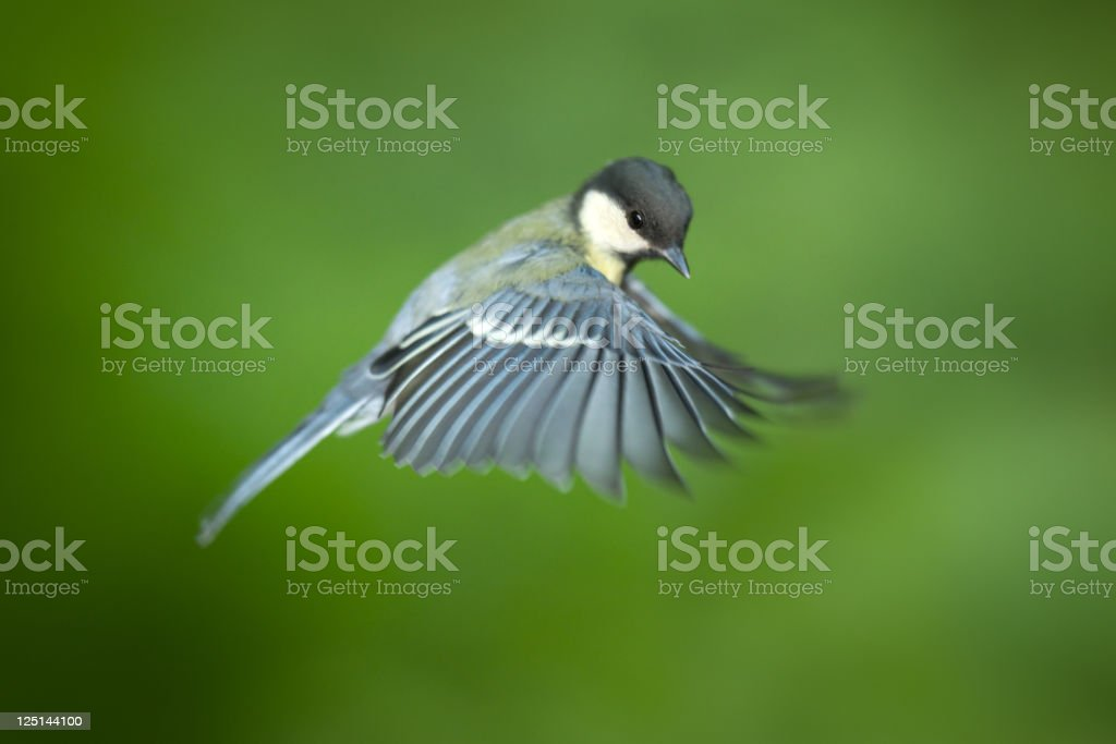 Great Tit in Flight stock photo