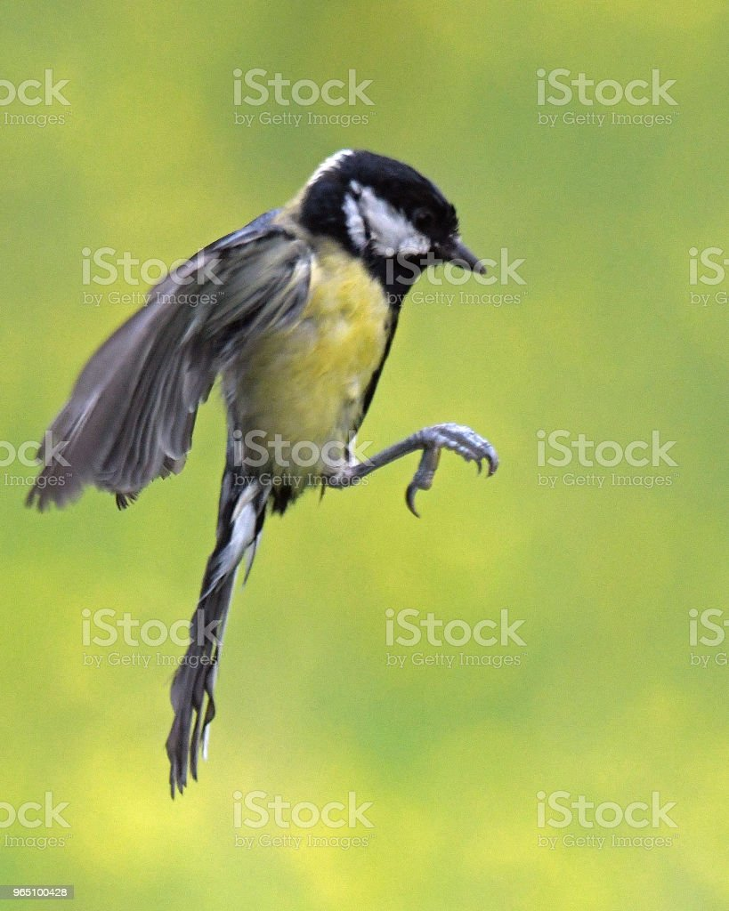 Great Tit in flight zbiór zdjęć royalty-free