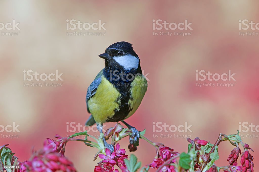 Great tit in springtime stock photo