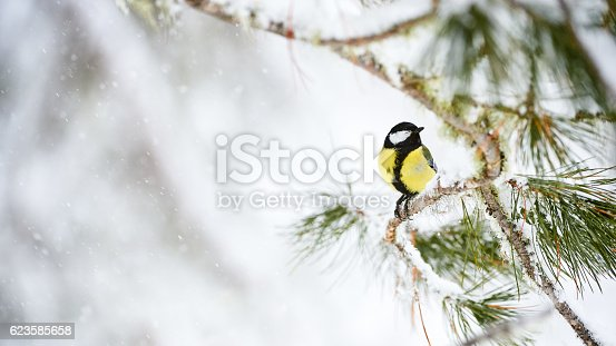 istock Great tit in winter 623585658