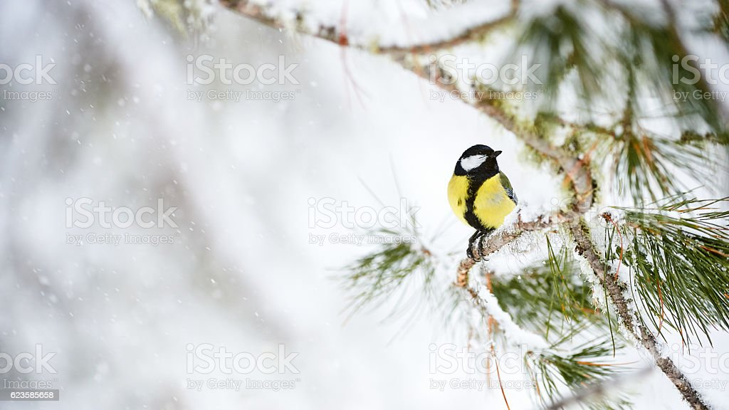 Great tit in winter stock photo