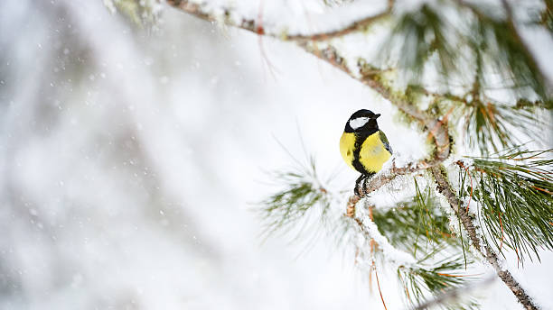 great tit in winter - forest animals stock photos and pictures