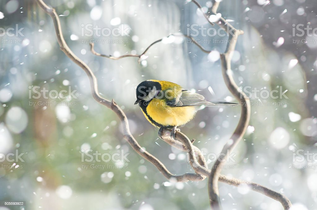 Great tit in winter sitting on branch in falling snow stock photo