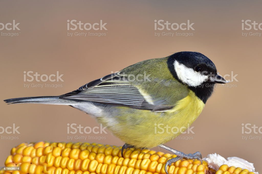 great tit in winter time stock photo