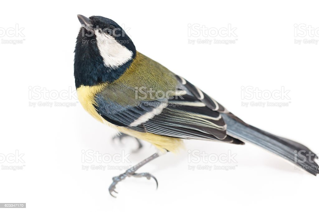 Great Tit (Parus major) isolated foto