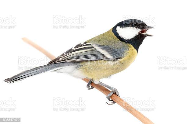 Photo of Great Tit (Parus major) isolated