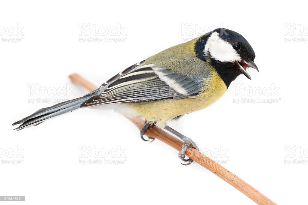 Great Tit (Parus major) isolated stock photo