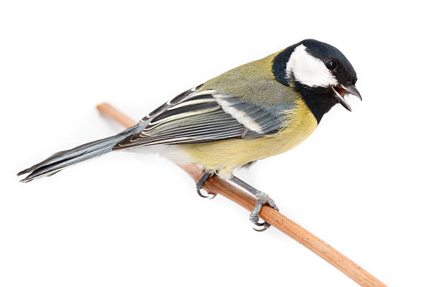 Great Tit (Parus major) isolated Great Tit in front of white background, isolated. (Parus major). chickadee stock pictures, royalty-free photos & images