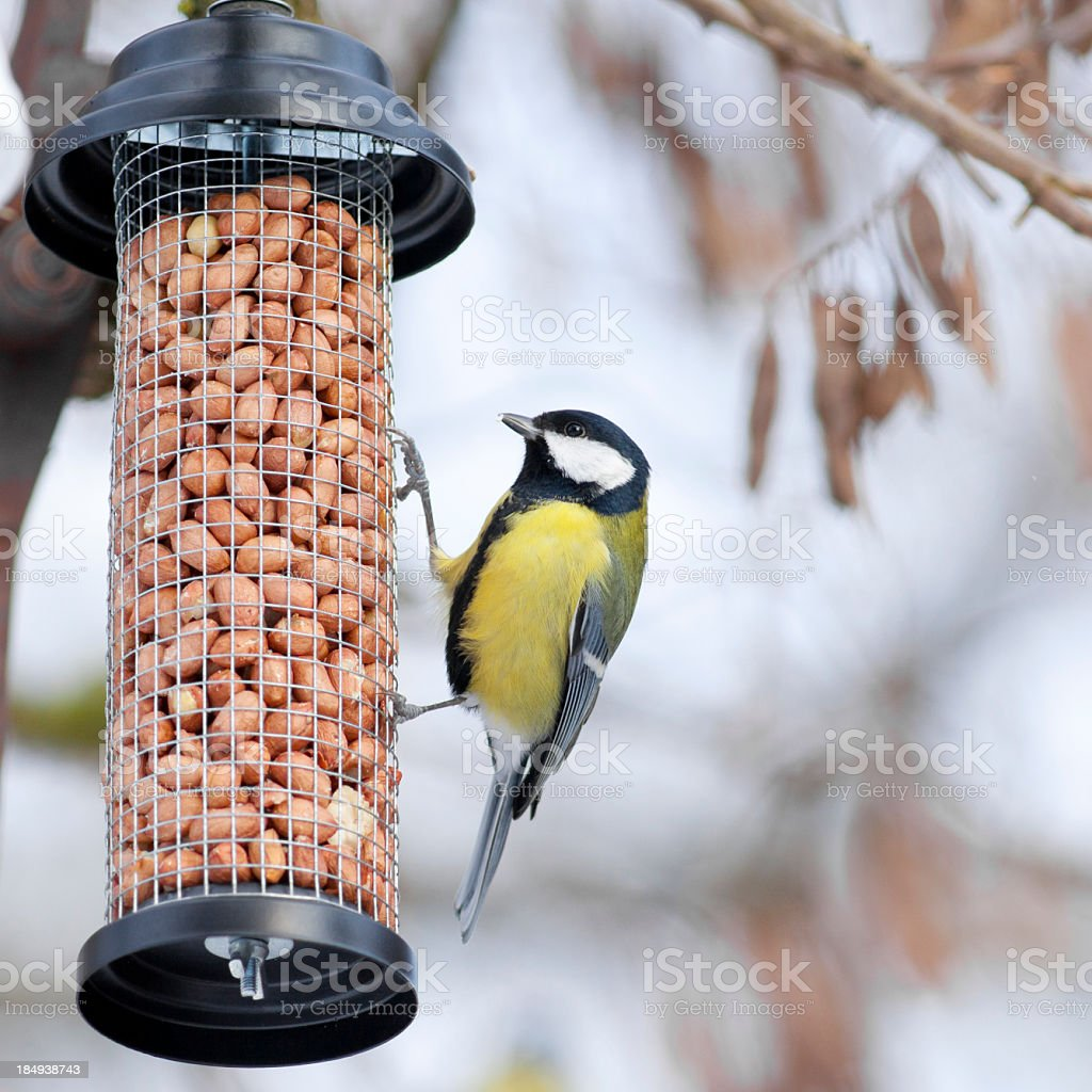 Great Tit on a bird table stock photo