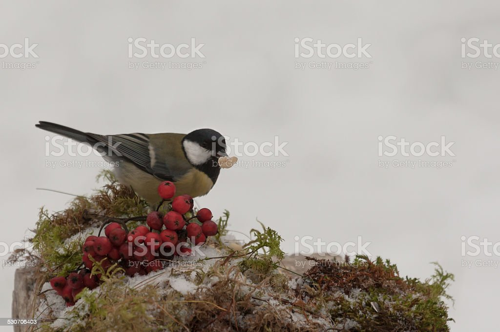 Great tit on a feeding place stock photo