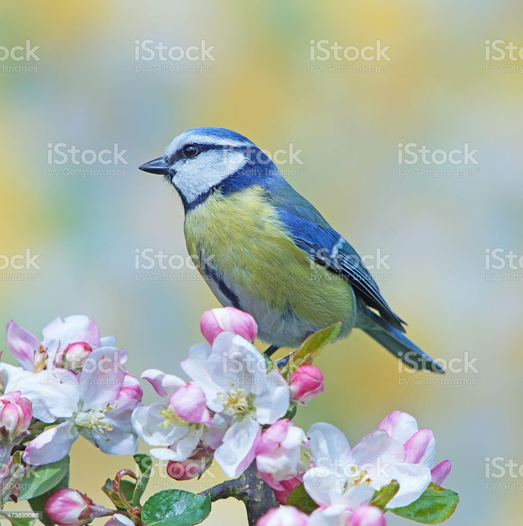Great tit on blossoming apple twig stock photo