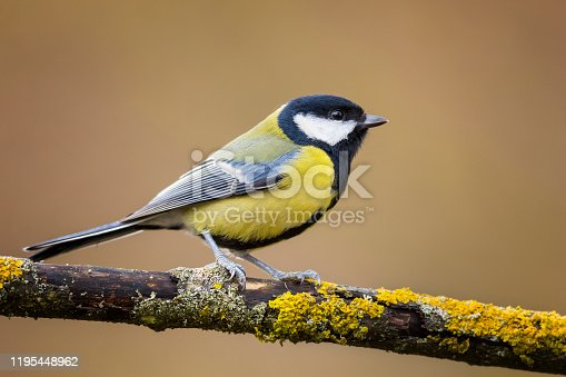 Animal, Bird, Great Tit, Color Image, Cut Out
