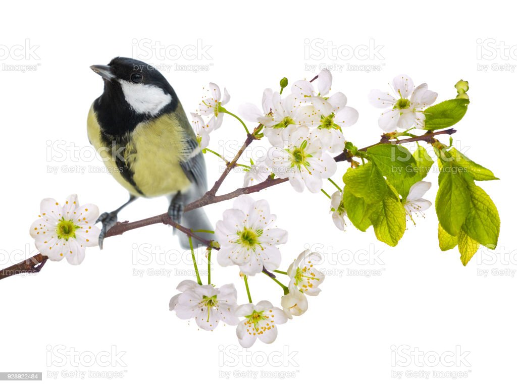 Great Tit On Cherry Tree Blossoming Branch Isolated On White