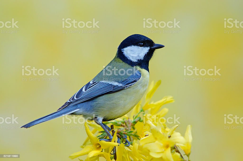 Great tit on forsythia stock photo