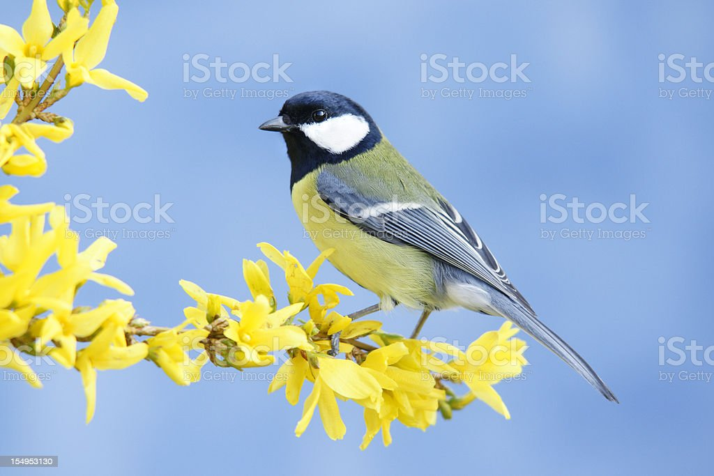 Great tit on forsythia twig stock photo