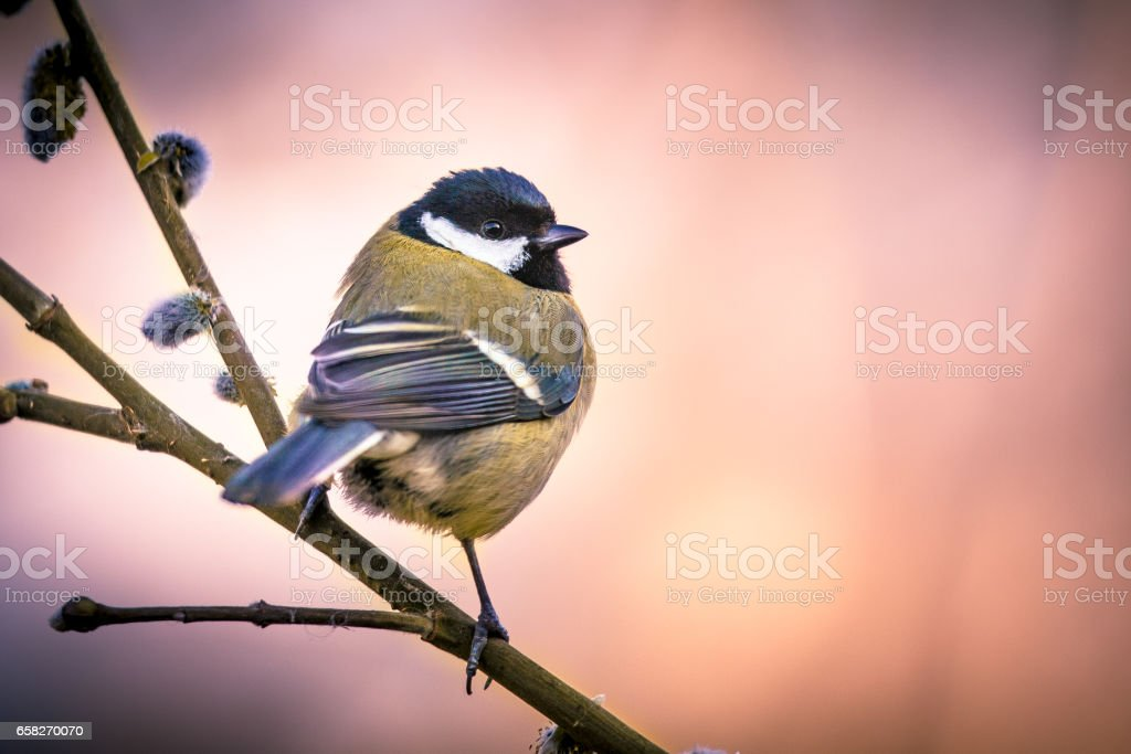 Great tit on pussy willow in vintage colors stock photo