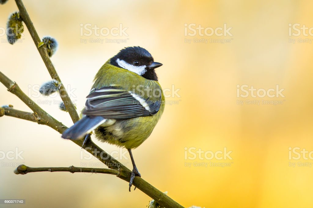 Great tit on pussy willow stock photo