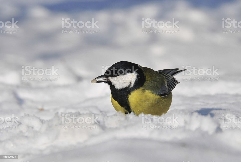 great tit on the snow royalty-free stock photo