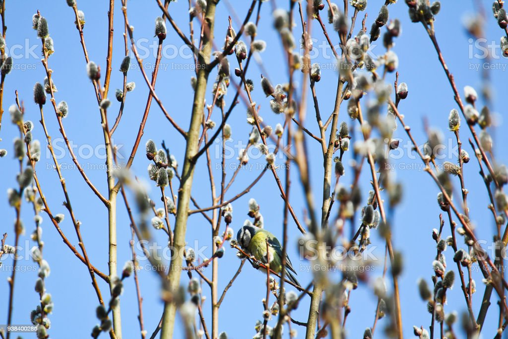Great Tit On Willow Tree With Blue Sky Stock Photo More Pictures