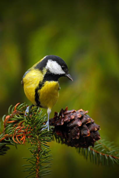 Great Tit, Parus major, black and yellow songbird sitting on the nice lichen tree branch with cone, little bird in the nature forest habitat, Germany stock photo
