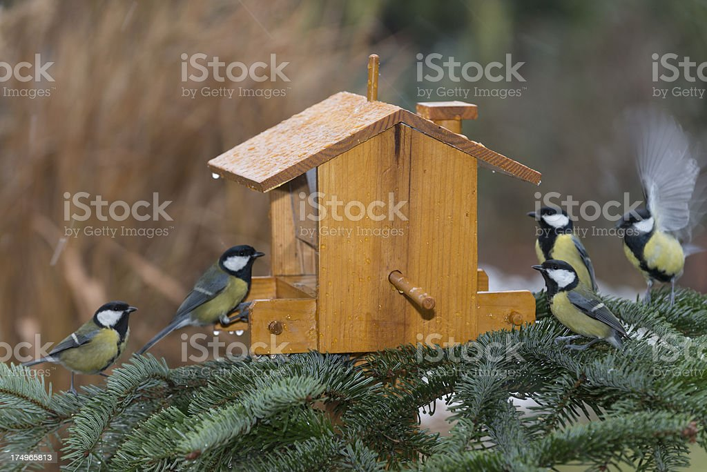 great tit [Parus major] feeding  (image size XXXL) stock photo