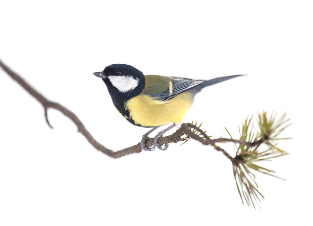 Great Tit, Parus major, on a lichen-encrusted twig, isolated on white