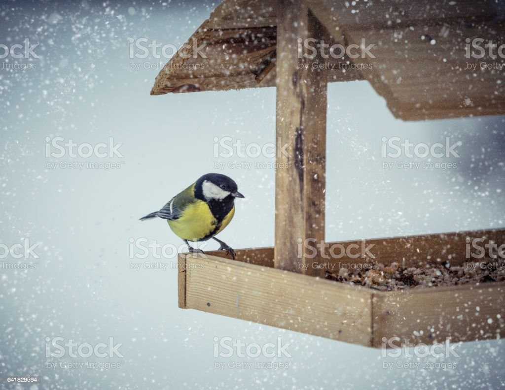 Great tit Parus Major on feeder at winter stock photo