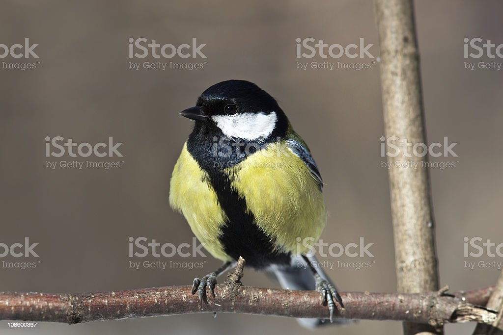 Great Tit, Parus major royalty-free stock photo