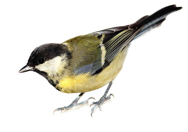Great Tit, Parus major  chickadee stock pictures, royalty-free photos & images
